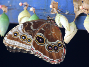 Butterfly From Chrysalis